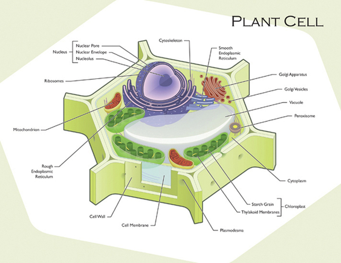 endoplasmic reticulum animal cell diagram g l wiring diagrams plant and cells this is a the big purple thing nucleus it acts as brain of red darker things are