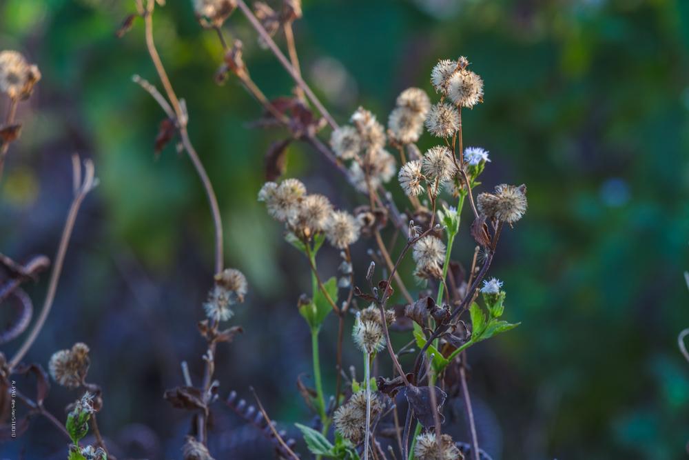 貓腥草   A.PAO garden_我看到的植物多樣性與昆蟲及其紀錄