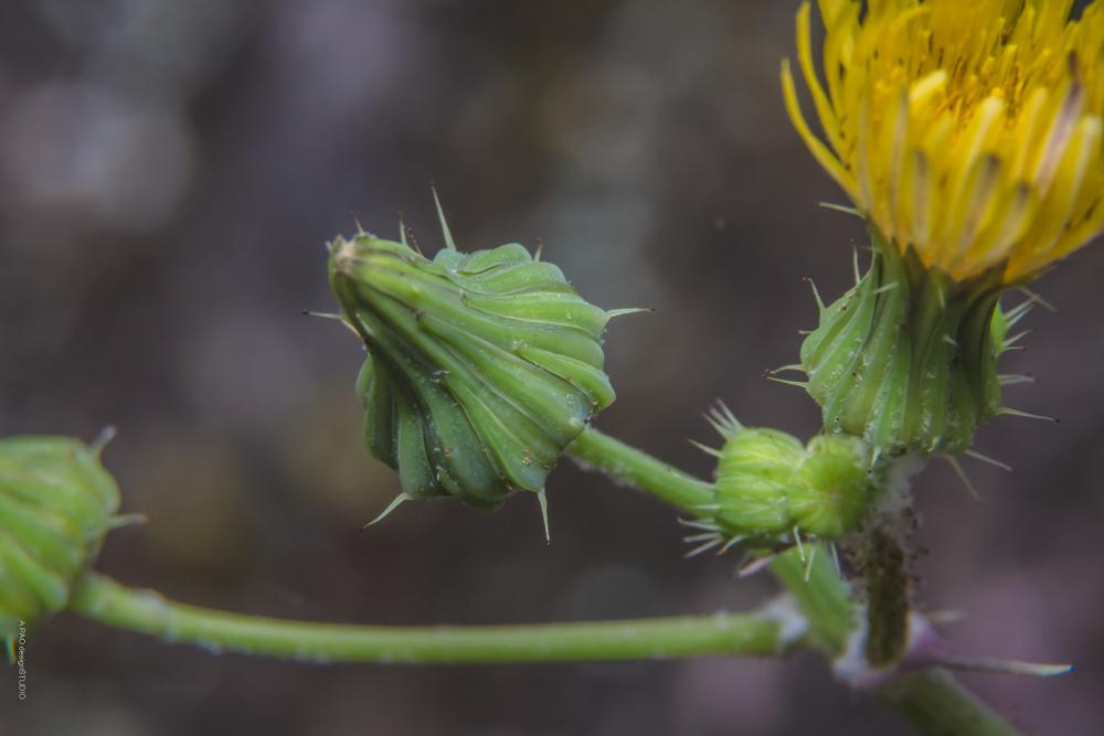 苦滇菜(苦菜   A.PAO garden_我看到的植物多樣性與昆蟲及其紀錄