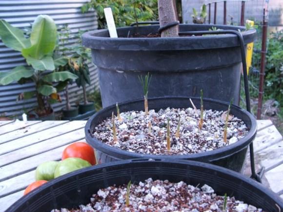 Forum: Growing Saffron Flower