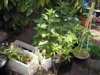 MsBetterhome1's Edible Backyard