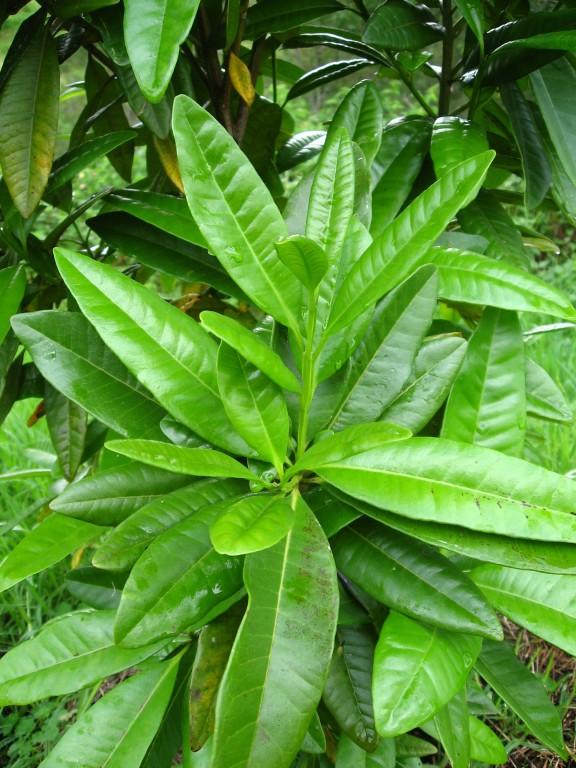 Allspice Jamacan Pepper Pimento Officinalis