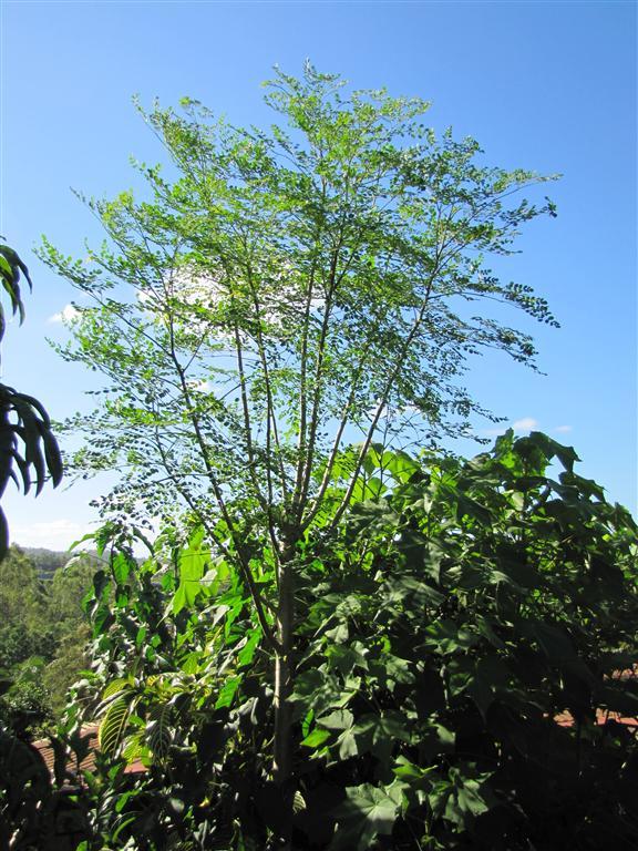 Drumstick Tree or Horseradish Tree Moringa oleifera