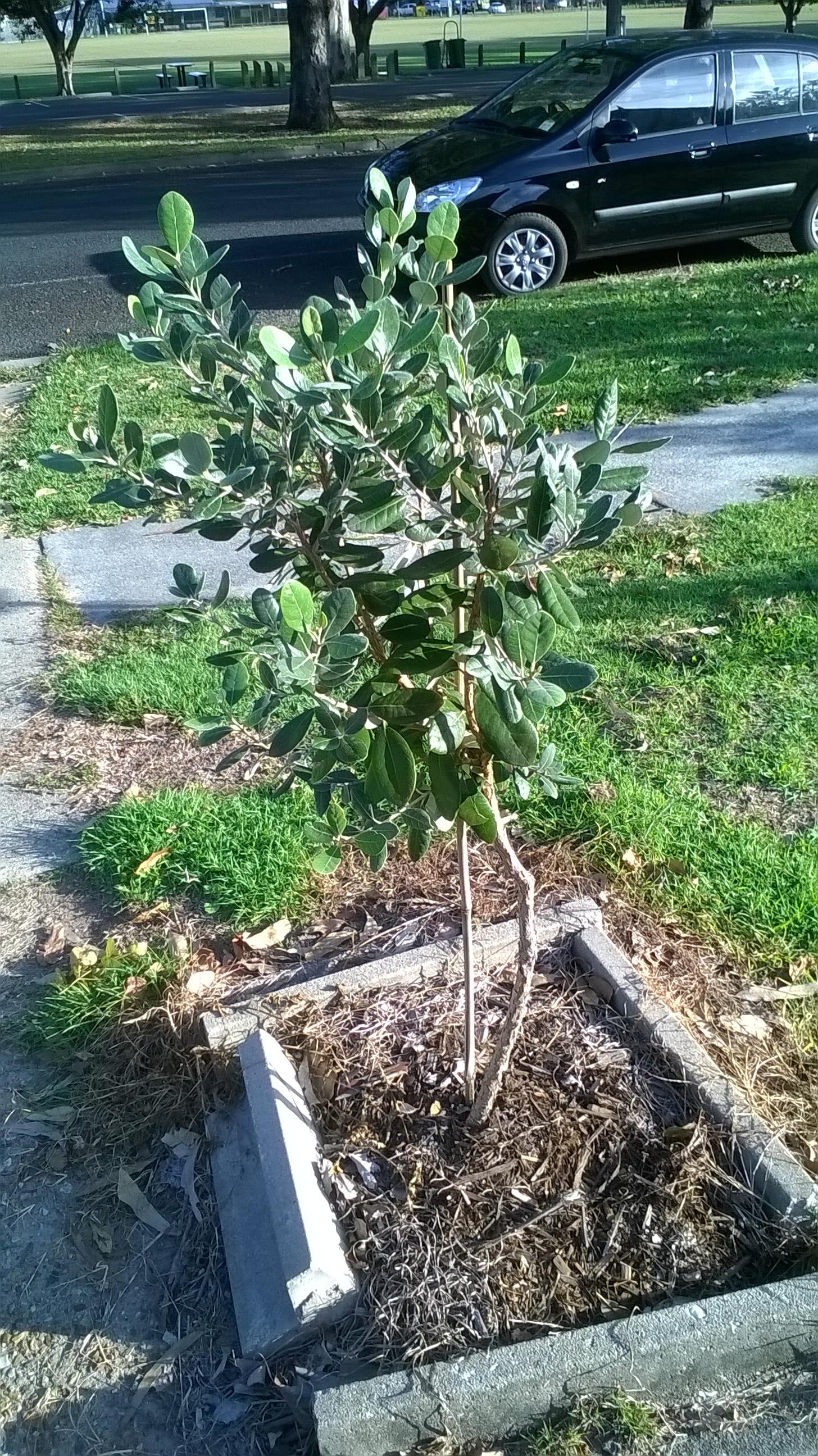 Feijoa Mammoth Tree  Acca sellowiana