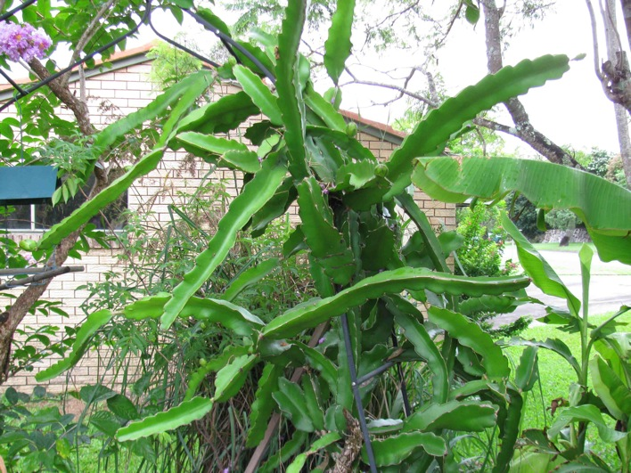 Pitaya Pearl Dragon Fruit Vine  Hylocereus undatus