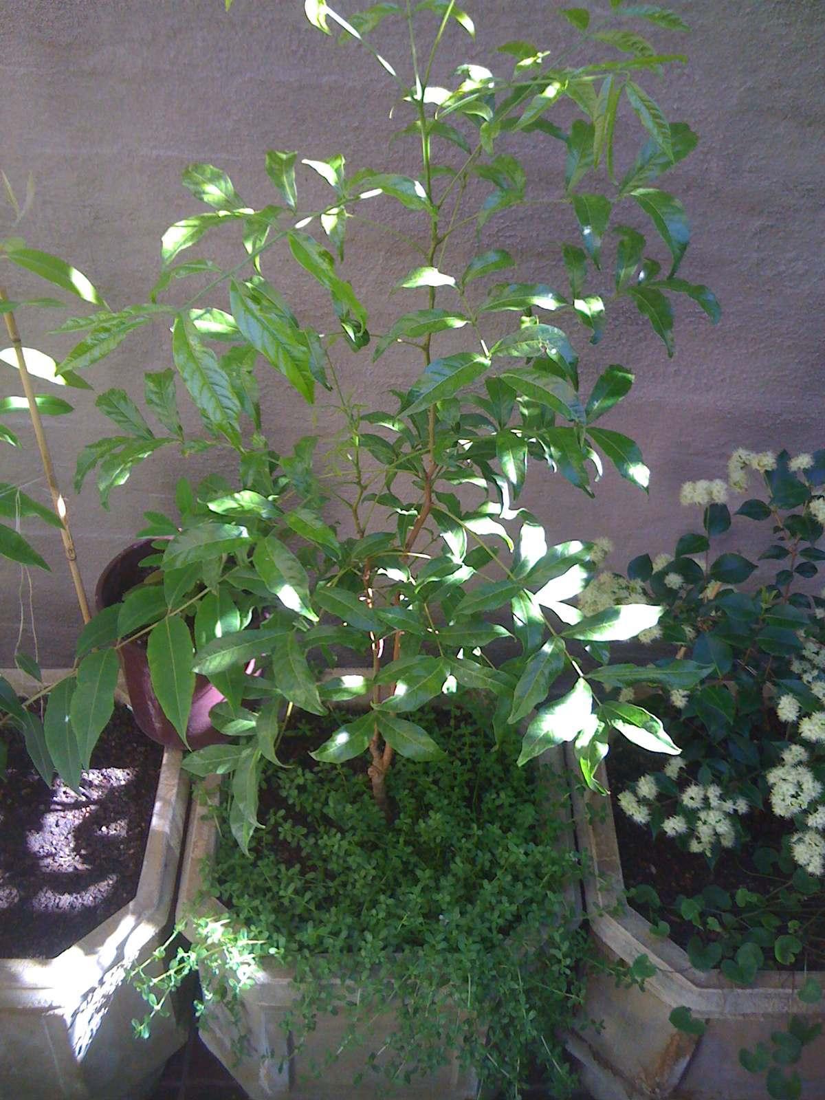 Small Leaf Tamarind Tree  Diploglotis campbelli
