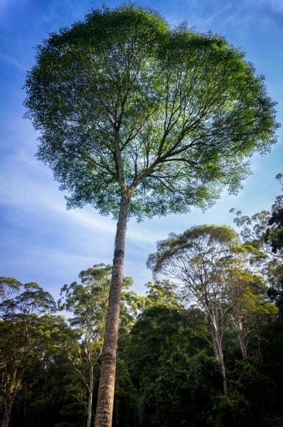 Buy Celerywood Tree Polyscias Elegans
