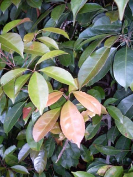 Eumundi Quandong Tree Elaeocarpus Eumundi