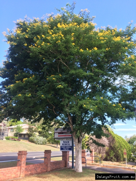 Leopard Tree Shade  Caesalpinia ferrea