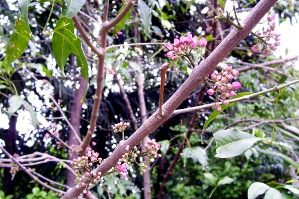 Melicope Rubra Little Evodia Tree