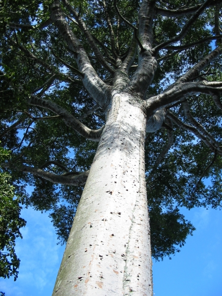 Buy Kauri Pine QLD  Agathis robusta South Queensland