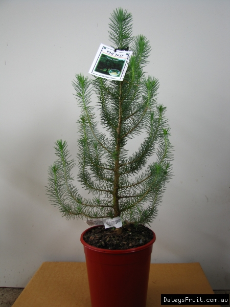 Pine Nut Tree  Pinus pinea