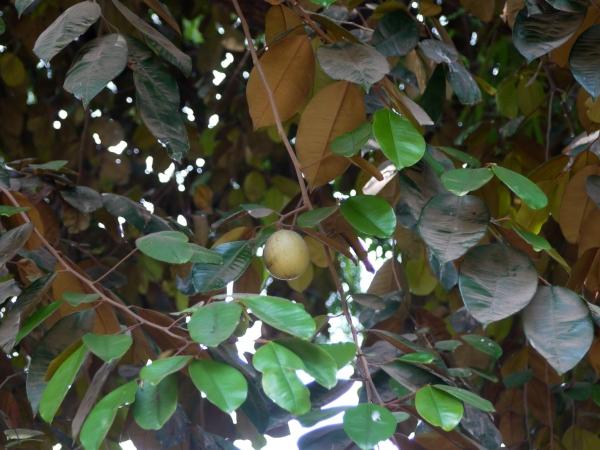 Buy Star Apple Fruit Trees  Chrysophyllum caimito