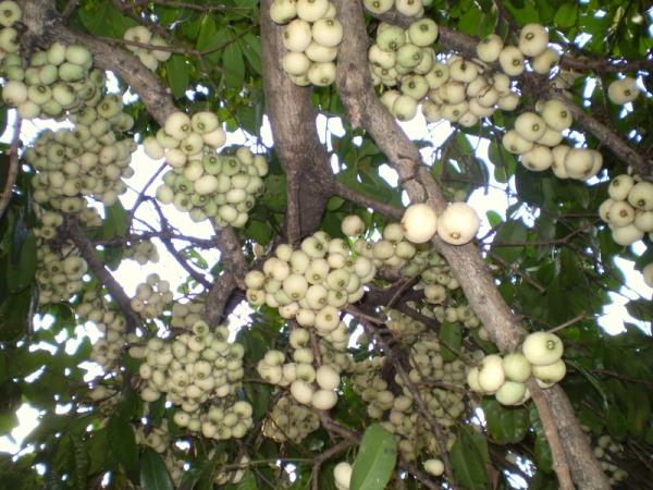 Syzygium mooreii Coolamon Tree