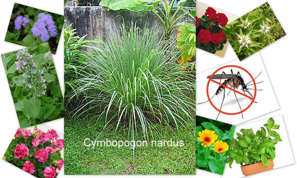 Növényekkel a szúnyogok ellen 1.