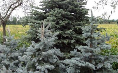 Élő karácsonyfa kiültetése – 3+1 tipp