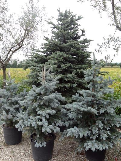 Élő karácsonyfa kiültetése – 3+1 tipp 5 (6)
