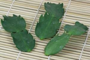karácsonyi kaktusz szaporítása szártagok dugványozásával