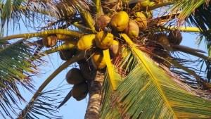 kókuszpálma terméssel