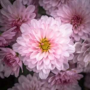 virágzó szobanövények télen - cserepes krizantém virág