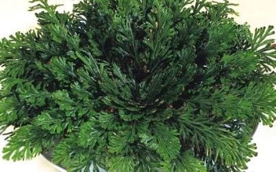Jerikó rózsája (Selaginella lepidophylla – mexikói csipkeharaszt)