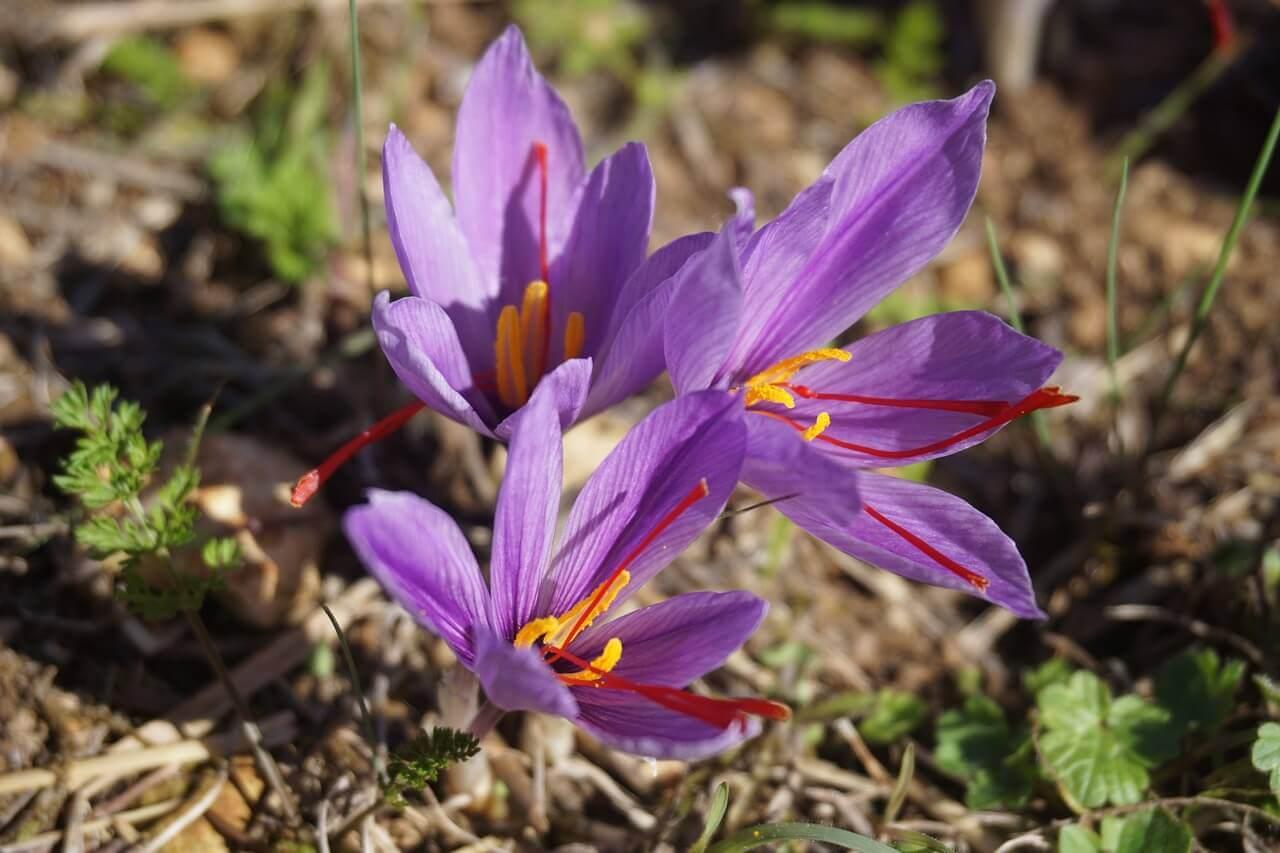 valódi sáfrány crocus sativus