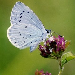 Blue Wing Chair Scandinavian And Ottoman Spring Butterflies By David Dennis, Butterfly Conservation | Plantameadow's Blog