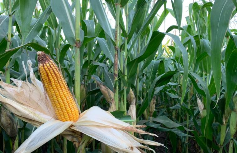 Em áreas corrigidas, quebra na produtividade do milho 2ª safra em MS será menor. Estiagem é um dos principais fatores que prejudicou lavouras