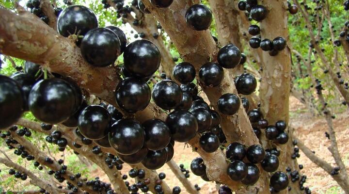 Conhecido Como Plantar Jabuticaba - Plantar Horta FC42