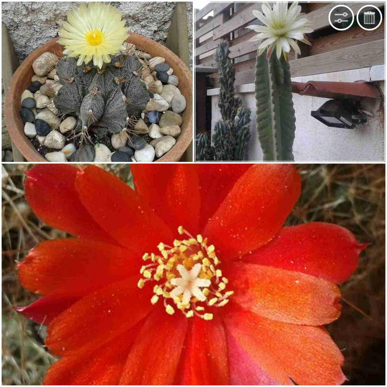 Cactus San Pedro florecido y mas de - Francia Tobon - 1