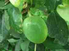 Frutos de Passiflora