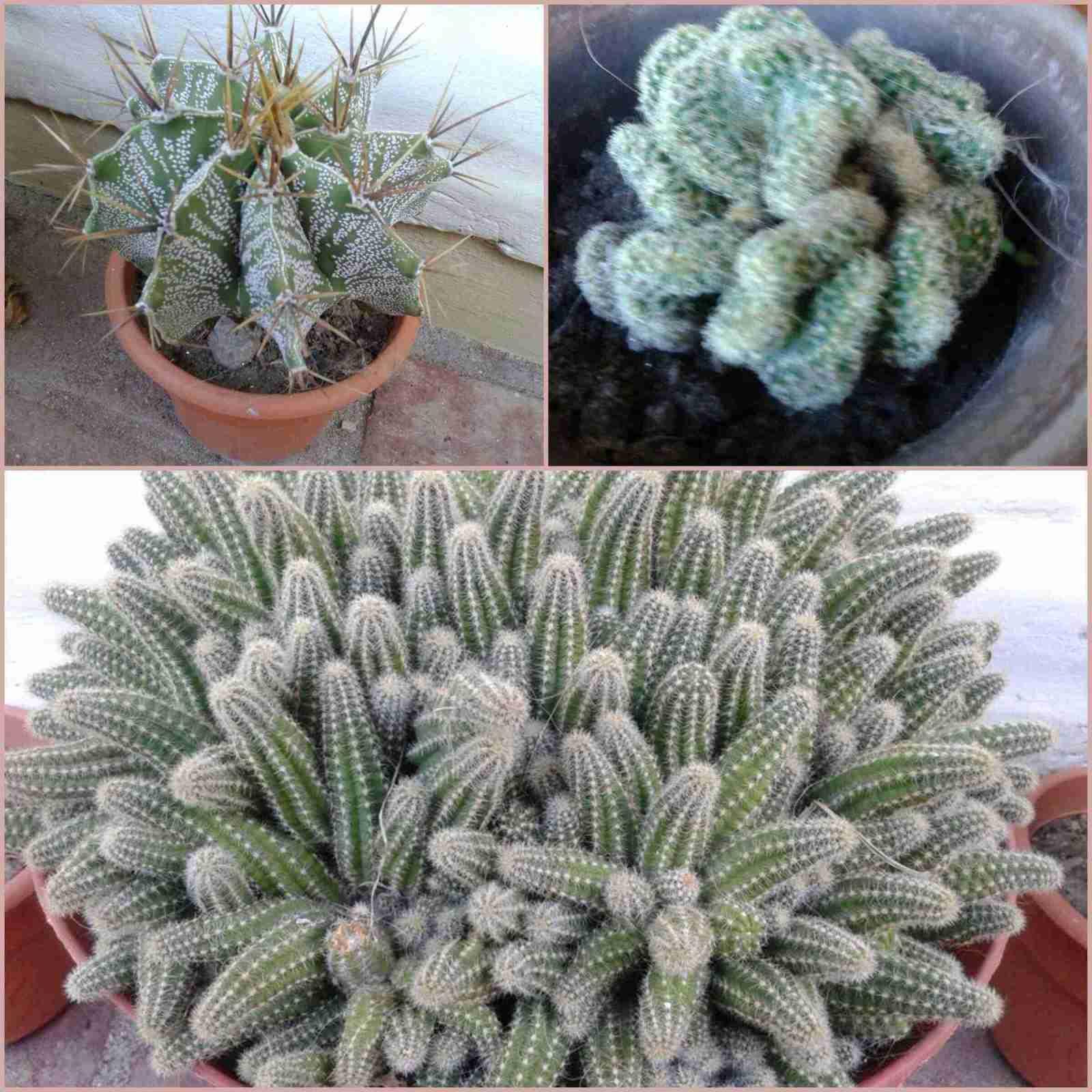 Astrophytum Ornatum de Maria Angeles y mas - Mis Plantas, Tus Plantas 3