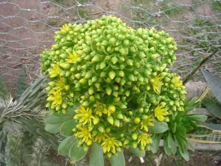Aeonium A punto de florecer