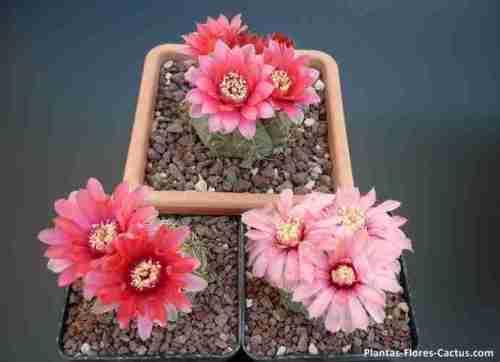 floración de cactus Gymnocalycium 3 macetas con 3 cactus florecidos con flores de colores rojos, rosados y salmon, realmente increíble belleza