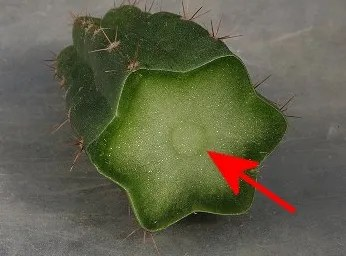 podar cactus