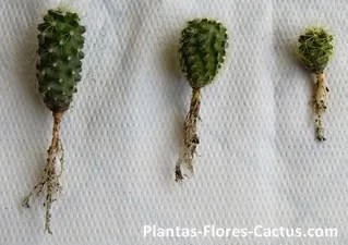 Axonomorphic cactus roots