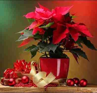 Planta de navidad, Nochebuena - Cuidados, Cultivos y Secretos. 2