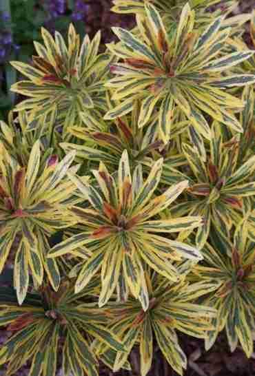 Euphorbia Ascot Rainbow, Cuesta 5 mil dolares según su creador 1