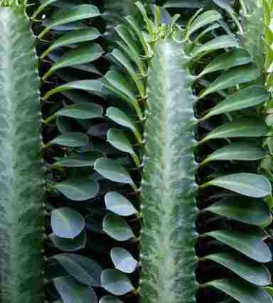 Euphorbia Trigona o Cactus Catedral -Rareza y Belleza 3