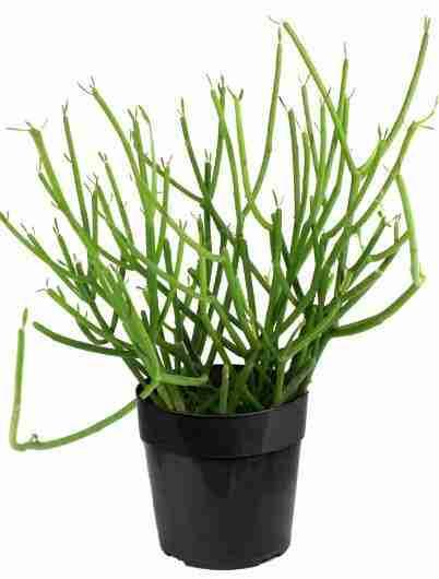 Euphorbia tirucalli - Árbol de los dedos 1