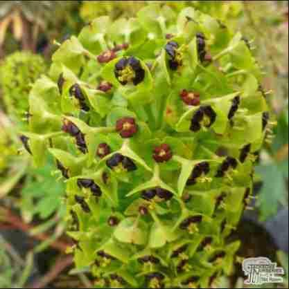 Euphorbia. x martinii