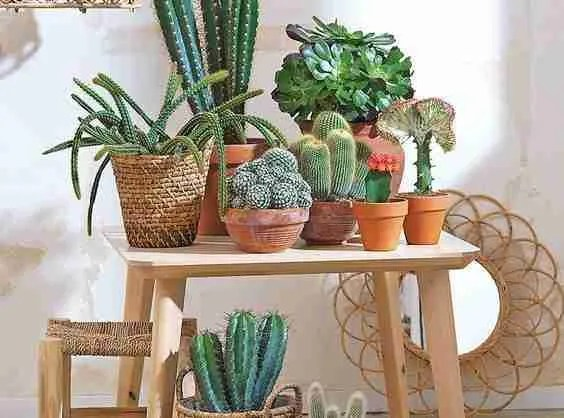 3 Secretos para tener cactus hermosos 1