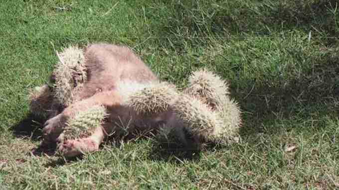 Increible!! Un cachorro de lobo, desesperado por ayuda. Lleno de espinas de Cactus (Opuntia) 3