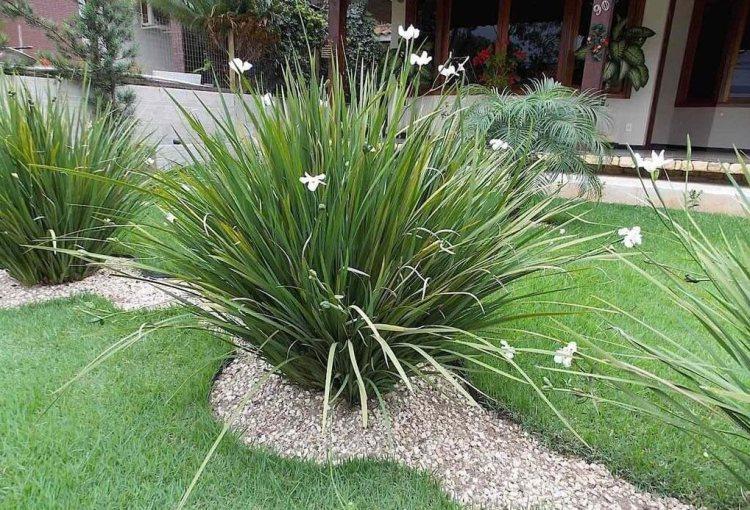 Moreia plantas ornamentais para jardim