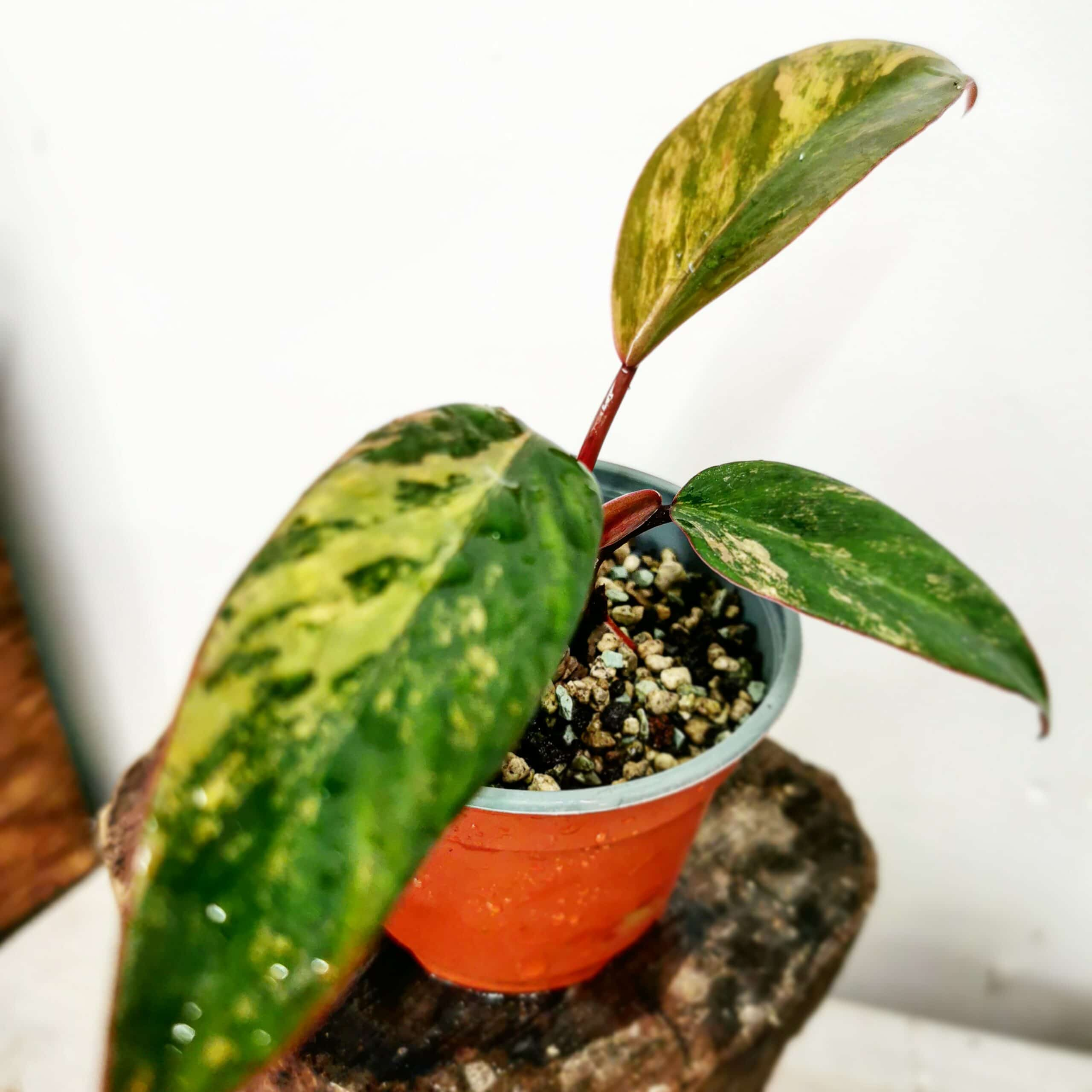 Philodendron Strawberry shake