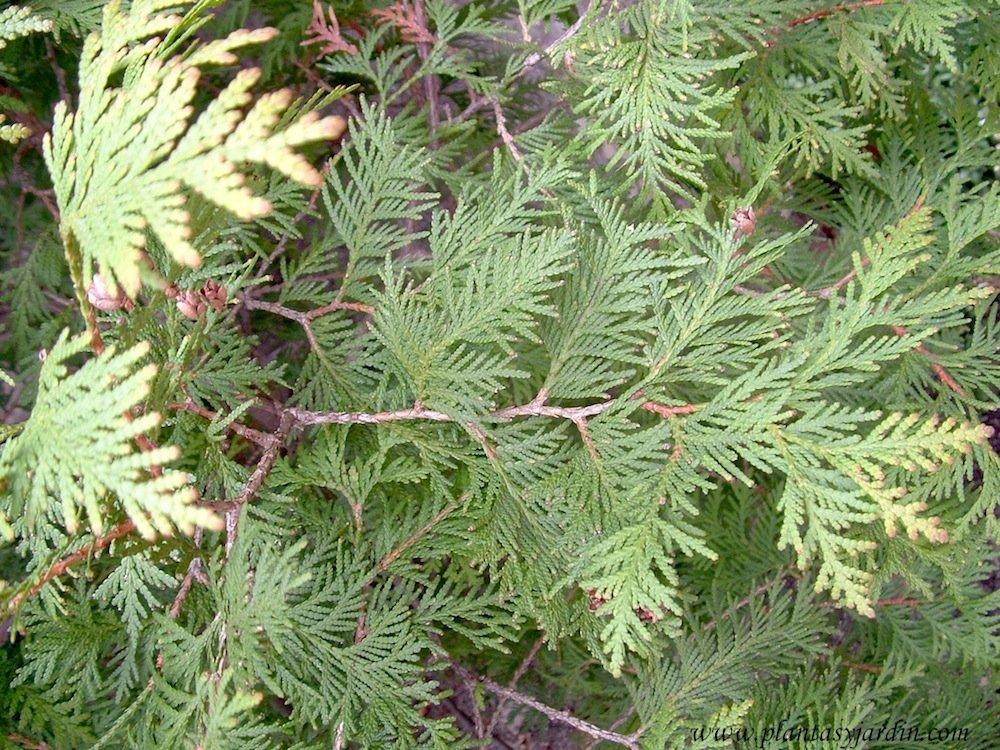 Resultado de imagen de Tuya de Canada bonsai