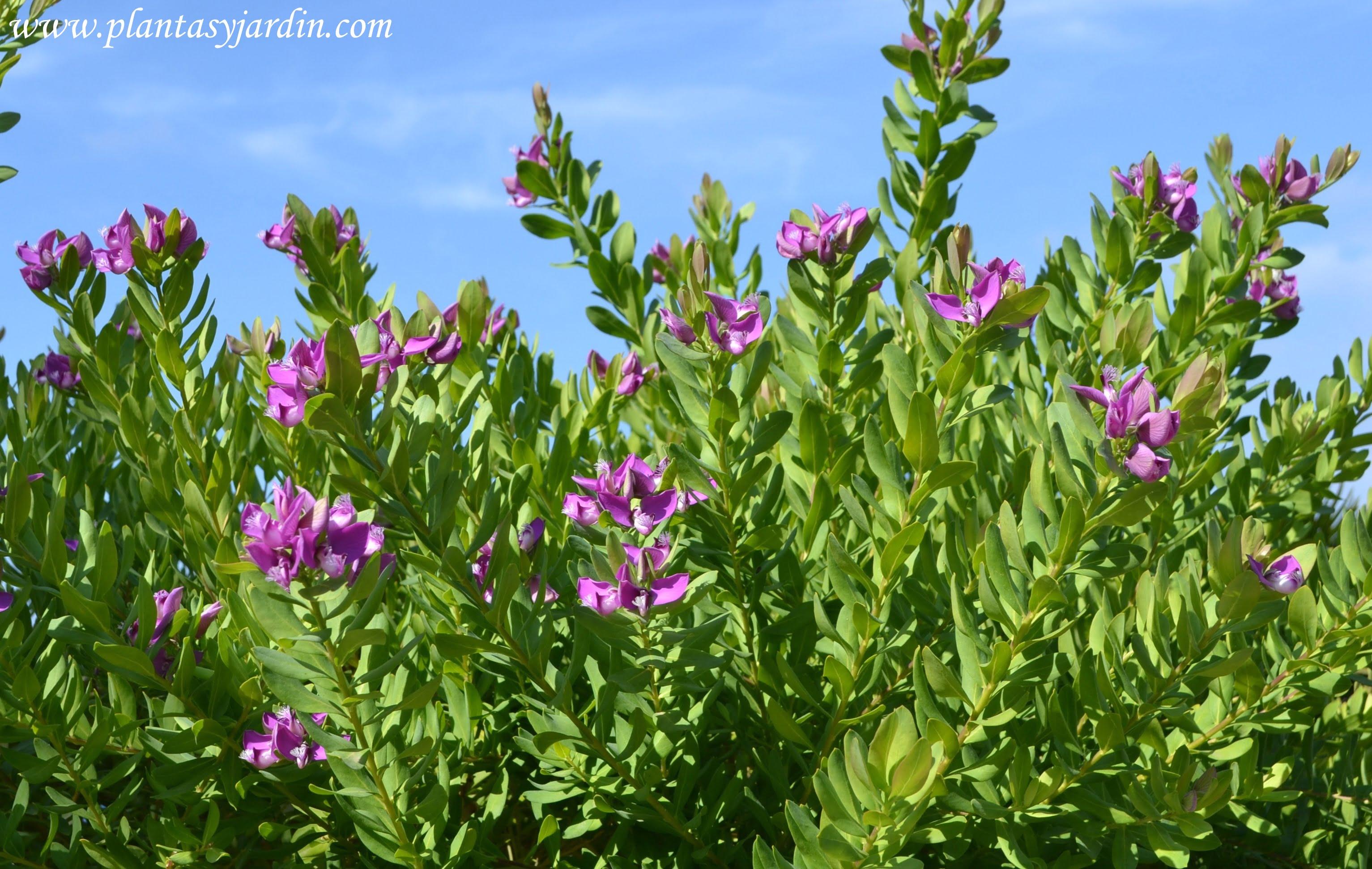 especies para cortinas rompe vientos  Plantas y Jardn