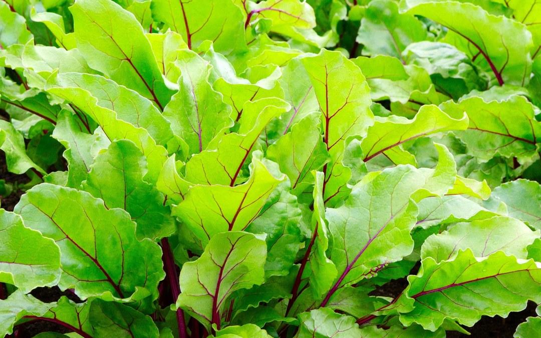 Health Benefits of Beet Leaves