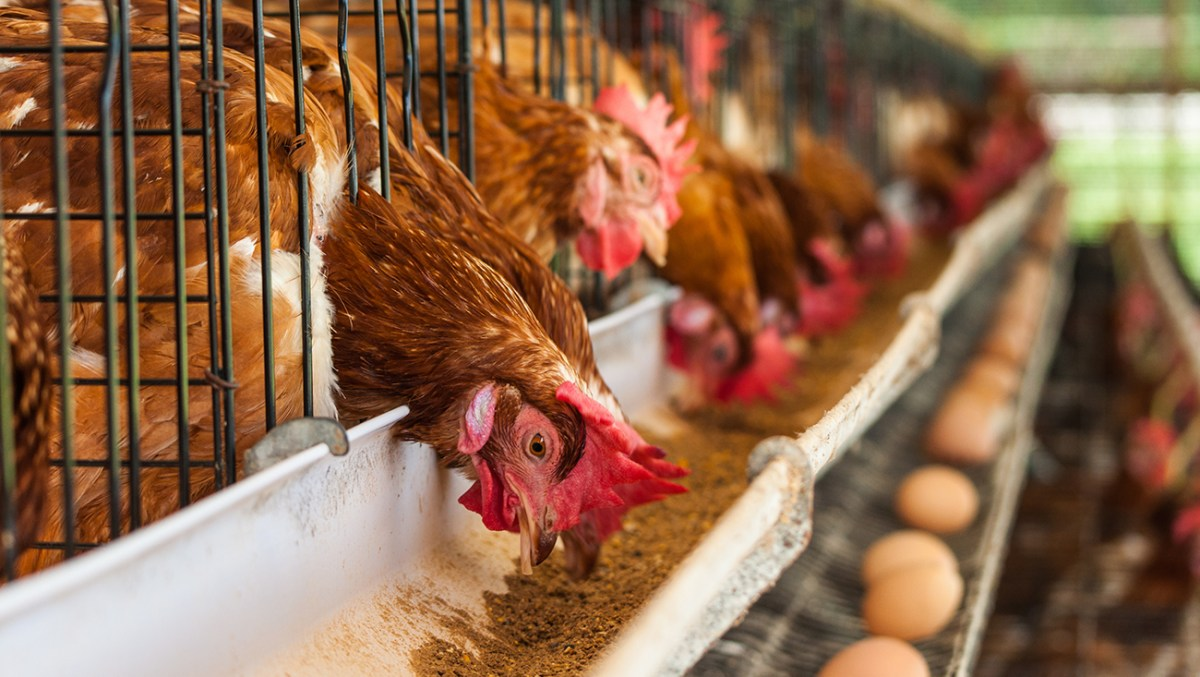 1.3 Million Chickens To Be Culled After Bird Flu Hits Sweden's Biggest Egg Producer
