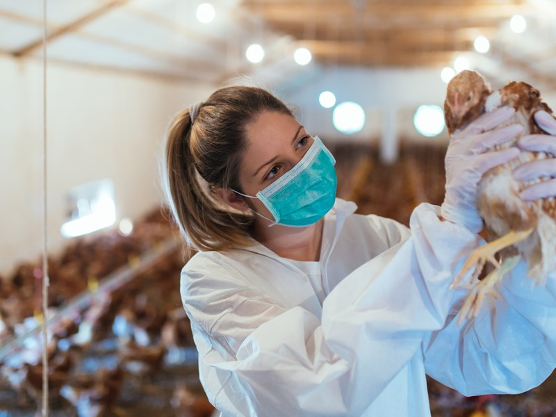 H5N8 Bird Flu Strain Detected In Humans: Will It Cause The Next Big Pandemic?